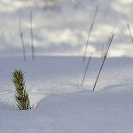 sapling emerging through snow