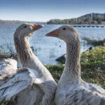 American Buff Geese, All Aglow