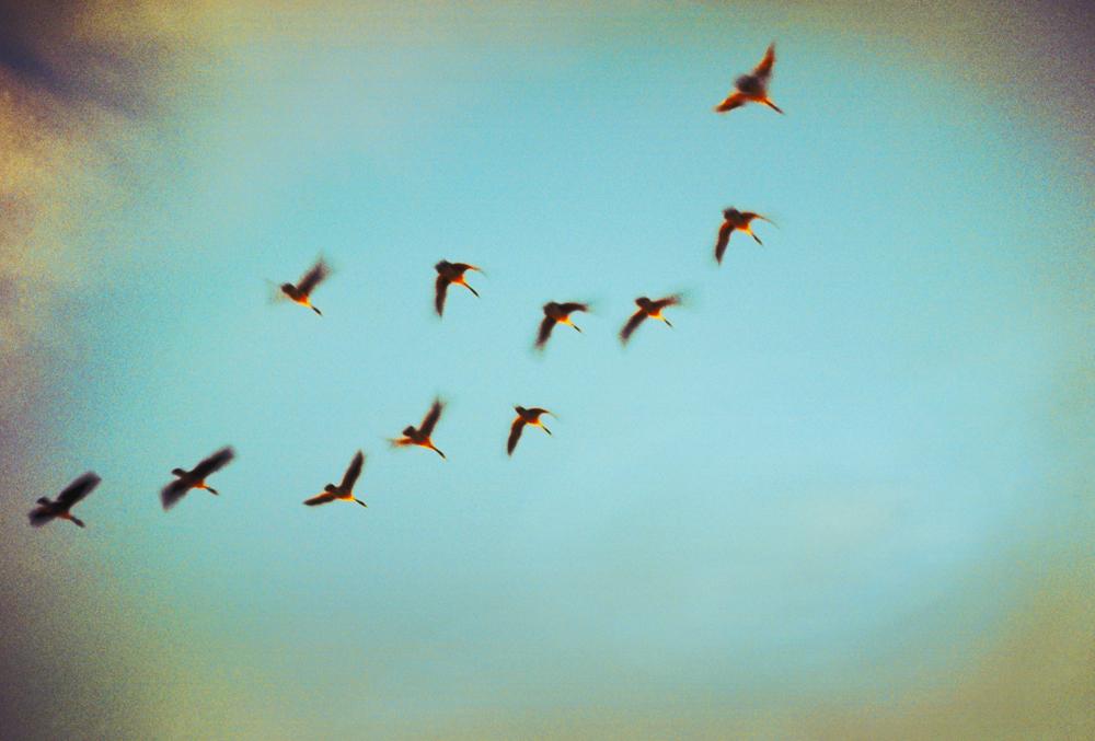 Geese, Homeward Bound