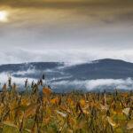 Autumn Bean Field